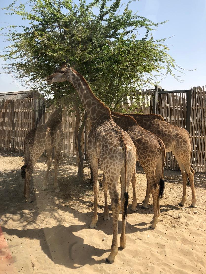 IMG_83591 Dubai Safari Park Review .